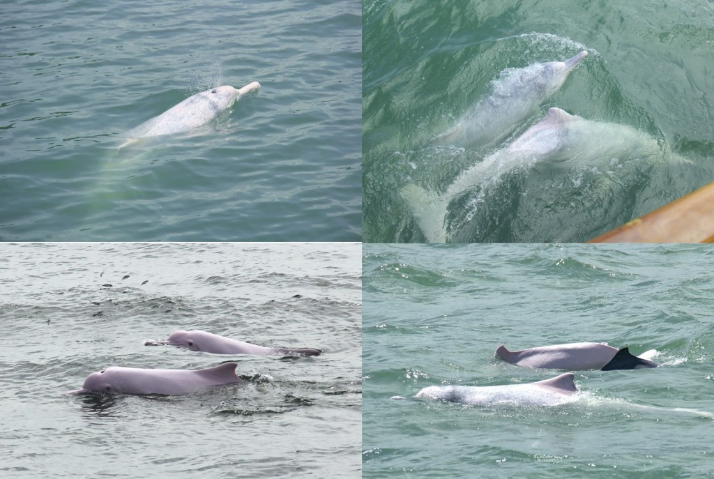 Dolphins breaching, feeding and socializing beside our boat